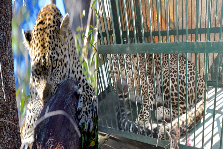 Jharkhand: What you wanted and found in the forest of Giridih, nets to catch pigs and trapped leopard, what happened then?| national News in Hindi